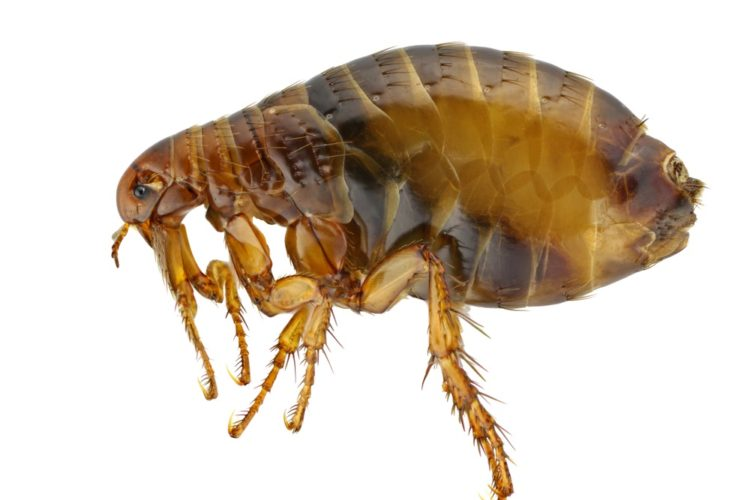 The Dreaded Flea
