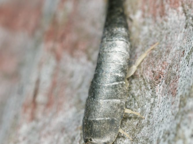 What Are Silverfish?