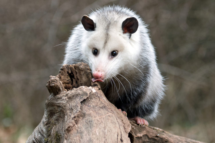 Oh Brother, We've Got Opossums