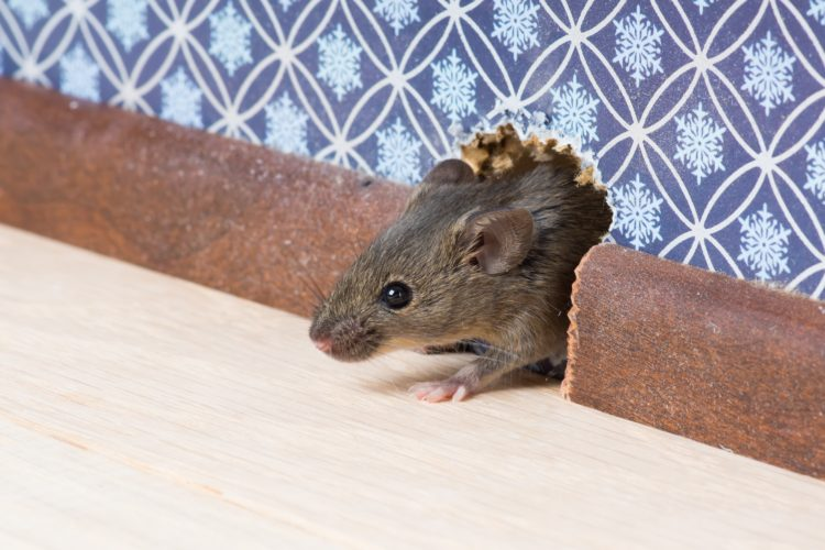 Get Rid of Mice Quickly to Eliminate Health Risks