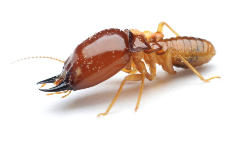 Choosing a Termite Treatment: Spot or Fumigation?