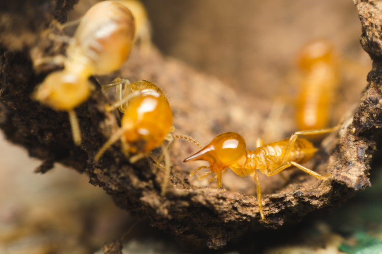 Will Heat Treatment Remove Termites?