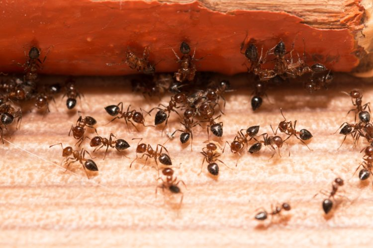Fix Your Ant Infestation Now