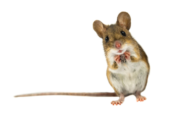 Avoid Safety Issues Caused by Mice in Your Home